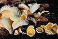 Phyllotopsis nidulans (Orange Mock Oyster or Orange Oyster, D= Orangeseitling, F= Pleurote en nid, Syn. Pleurote nid d'oiseau, NL= Oranje oesterzwam) at the well known Beech trunk Schaarsbergen at 25 Oct 2015 - panoramio.jpg