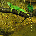 Physignathus cocincinus Zoo Amneville 28092014 1.jpg