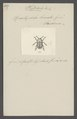 Phytodecta - Print - Iconographia Zoologica - Special Collections University of Amsterdam - UBAINV0274 036 05 0010.tif