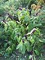 Phytolacca acinosa 2 (plant).jpg