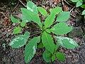 Phytoliriomyza melampyga a1.jpg