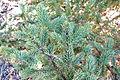 Picea asperata - Jardim Botânico de Quarryhill - DSC03608.JPG