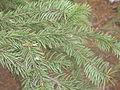 Picea meyeri Brno1.JPG