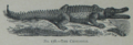 Picture Natural History - No 178 - The Crocodile.png