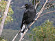 Pied Currawong, Blue Mountains.jpg