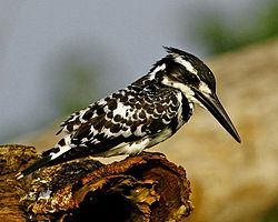 Pied Kingfisher MG 1141 - Copy (640x512).jpg