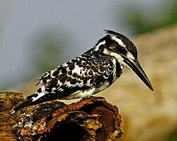 Pied Kingfisher MG 1141 - Copy (640x512).jpg