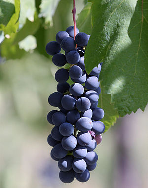 Abbuoto - Piedirosso, one of the grapes believed to be a parent of Abbuoto.