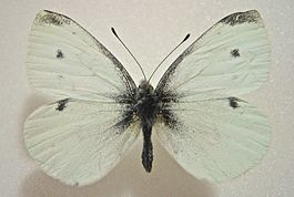 Pieris rapae male.jpg