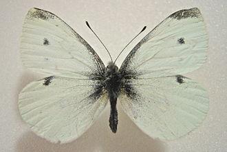 Pieris rapae - Male
