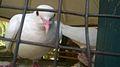 Pigeon lucknow zoo.jpg