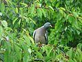 Pigeon ramier sur cerisier (2).JPG