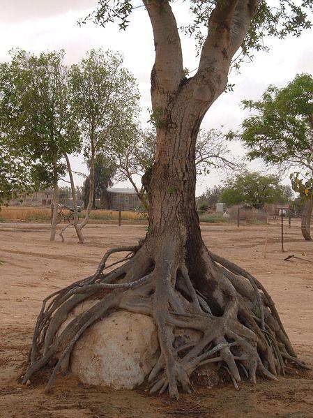 עץ השורש המחבק