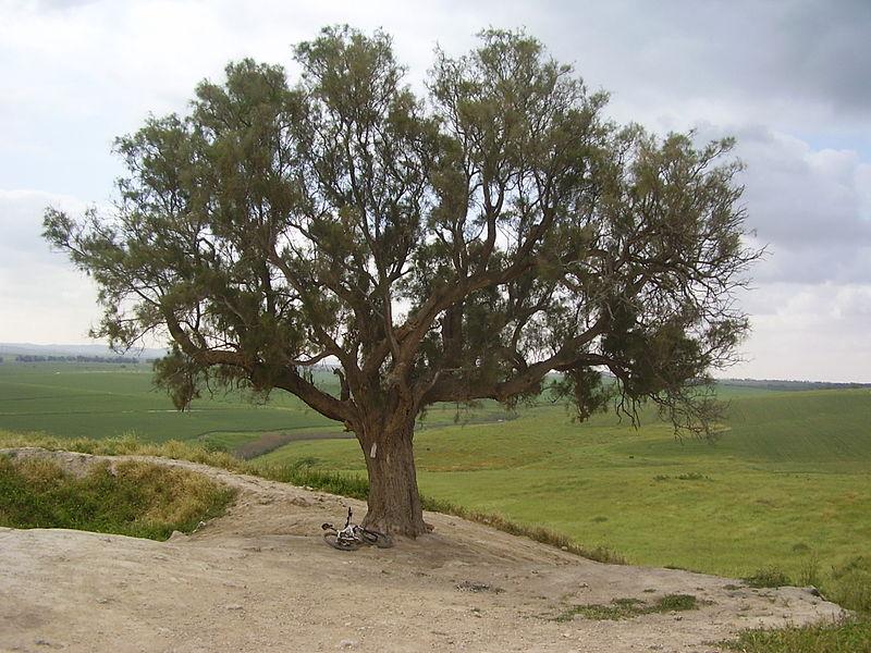 עץ האשל על תל נגילה