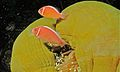 Pink Anemonefish (Amphiprion perideraion) (6059175348).jpg