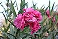 Pink Flower. Alex 002.JPG