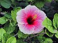 Pink Hibiscus Flower from India.jpg