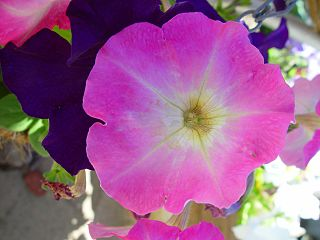 A pink morning glory in full bloom, purple petals of another blossom peak out from behind it.