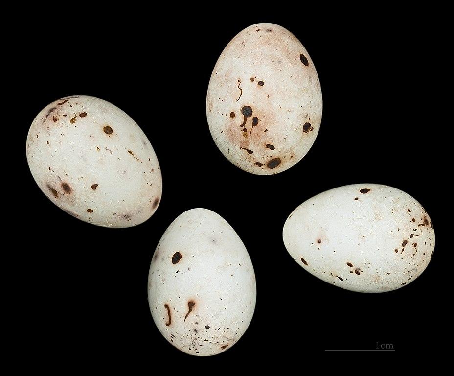 Pinka lesná - vajíčka