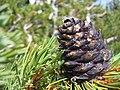 Pinus albicaulis Sniezko2.jpg