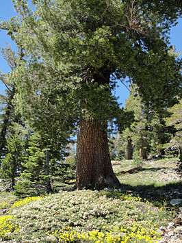 Een oud exemplaar van Pinus monticola in de Desolation Wilderness in de Sierra Nevada van Californië