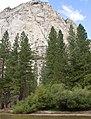 Pinus ponderosa KingsCanyon1.jpg