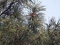 Pinus tabuliformis foliage.jpg