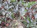 Piper acrophylla-1-chemunji-kerala-India.jpg