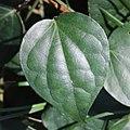 Piper kadsura (leaf s6).jpg