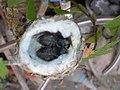 Pirané Pirane Formosa Picaflor Garganta Blanca Leucochloris albicollis White-throated Hummingbird 3.jpg