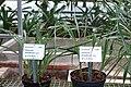 Pitcairnia breedlovei - Botanischer Garten - Heidelberg, Germany - DSC01226.jpg
