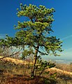 Pitch Pine (8177521786).jpg