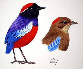 Garnet pitta - Adult (left) and juvenile (right)