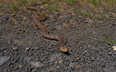 Pituophis catenifer sayi - gravel forest road in Cheney, WA.jpg
