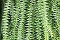 Plant of Thailand - 26.jpg