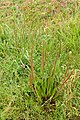 Plantago australis kz4.jpg