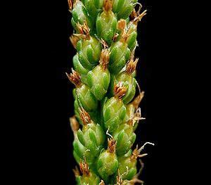 Plantago major - Developing fruits of Plantago major