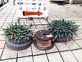 Plants grown using tyres as pot.jpg