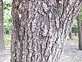 Platycarya strobilacea2.jpg