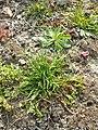 Poa annua (subsp. annua) sl7.jpg