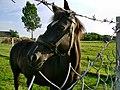 Podgaje, koń - panoramio (2).jpg