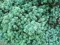 Podocarpus elongatus - foliage.JPG