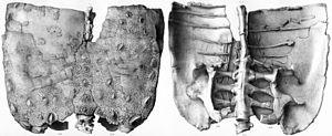 Polacanthus - Hip armour of Polacanthus foxii