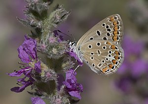 Common blue - Image: Polyommatus icarus Çokgözlü mavi 34 3