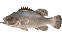 Polyprion americanus.png