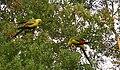 Polytelis anthopeplus -aviary in Australia-3.jpg
