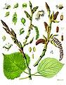 Populus nigra - Köhler–s Medizinal-Pflanzen-112.jpg