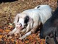 Porky (2954247021).jpg