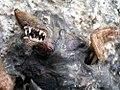 Portugiesischer-maulwurf-gebiss&grabschaufeln.jpg