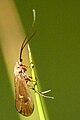 Potamophylax.nigricornis.-.lindsey.jpg